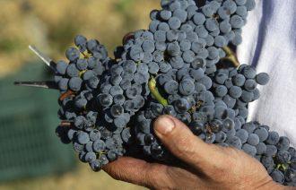 grappolo-uva-rossa-sangiovese