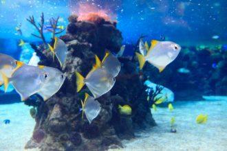 Baby coralli in declino sulla Grande Barriera