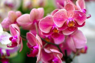 Orchidea-in